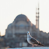 'A watchful bird with the suleymaniye mosque in the background;Istanbul turkey'