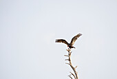 'Turkey vulture (cathartes aura) on the top of a tree in the gulf islands;British columbia canada'