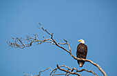 'Bald eagle (haliaeetus leucocephalus) rests on a weathered branch on portland island;Gulf islands british columbia canada'