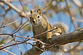 'A squirrel in a tree;Edmonton alberta canada'