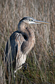 'Blue heron;Gulf shores alabama united states of america'