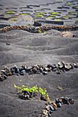 'Vineyards in la geria;Lanzarote canary islands spain'