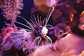 'Clearfin turkeyfish;Israel'