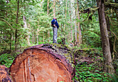 'A middle aged man hiking in a logged forest on vancouver island;British columbia canada'
