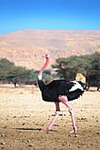 'Ostrich walking in an arid field;Israel'