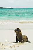 'A galapagos sea lion pup (zalophus wollebaeki) wait on shore for its mother;Galapagos islands ecuador'