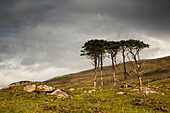 'Small trees stand in a rugged field of grass and rock under a cloudy sky;Applecross peninsula scotland'