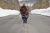 'Buffalo walking down the middle of the road in yellowstone national park;Wyoming united states of america'
