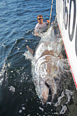 '900 pound bluefin tuna caught on the side of a boat;Prince edward island canada'