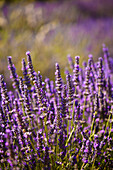 'Blooming field of lavender (lavandula angustifolia) around boux luberon mountains;Vaucluse provence-alpes-cote d'azur france'