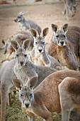 'Kangaroos;Waga waga australia'