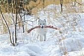 'Arctic fox (alopex lagopus) in white winter phase;Yukon canada'