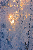 'Sun filtering through the fog in a hoar frost covered forest russian jack springs park;Anchorage alaska united states of america'