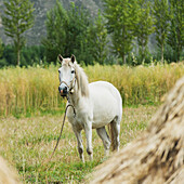 'White horse in a field;Lhasa xizang china'