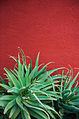 'Cactus against a red wall;San miguel de allende guanajuato mexico'