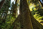 'Large douglas fir trees in the stoltman grove of carmanah walbran provincial park;British columbia canada'