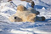'Polar bear (ursus maritimus) enjoying the afternoon light along the shores of hudson's bay;Churchill manitoba canada'