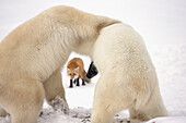 'Polar bears (ursus maritimus) wrestling while waiting for hudson's bay to freeze over with a red fox (vulpes vulpes) in the background;Churchill manitoba canada'