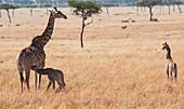 'A giraffe (giraffa camelopardalis) with it's young in maasai mara national reserve;Maasai mara kenya'