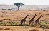 'Three Giraffes Standing In A Row With The Landscape Of The Maasai Mara National Reserve;Maasai Mara Kenya'
