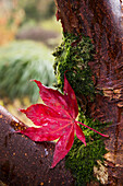 'A bright red maple leaf resting on a tree branch;Northumberland england'