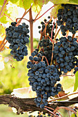 'Bunches of dark red grapes on a backlit vine;Emilia-romagna italy'