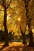 'Sunlight glowing through the leaves of trees in autumn colours;Gateshead tyne and wear england'