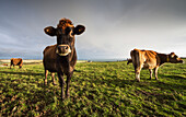 'Cows in a field with one cow staring at the camera;Dumfries and galloway scotland'