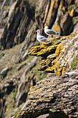 'Seagulls on skellig michael, the skellig islands;County kerry, ireland'