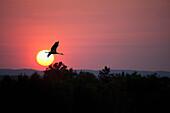 'Canada goose (branta canadensis) flying through a sunset;Thunder bay, ontario, canada'