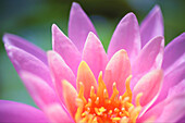 'Close up of a pink flower in bloom;Hawaii, united states of america'
