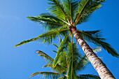'Low angle view of palm trees against a blue sky;Lanai, hawaii, united states of america'
