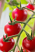 'Close up of ripe, red cherry tomatoes growing on the plant;Anchorage, alaska, united states of america'