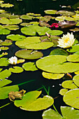 'Close up of a frog and yellow and white water lily flowers on the surface of a pond at springtime;Laurentians, quebec, canada'