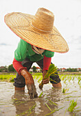 'Planting new rice;Chiang mai thailand'