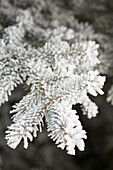'Close up of frosted needles of an evergreen tree;Calgary alberta canada'