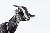 'Funny looking goat and a cloudy sky background;Nepal'