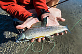 'A fresh grayling fish caught by fly fishing in the noatak river and brooks range gates of the arctic national park northwestern alaska;Alaska united states of america'