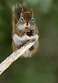 'Red squirrel (tamiasciurus hudsonicus) eating a spruce cone gaspesie national park;Quebec canada'
