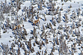 'Two caribou (rangifer tarandus caribou) running in the highland of mount albert gaspesie national park;Quebec canada'