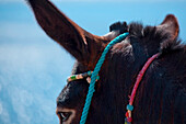 'Colourful rope tied to a donkey;Manolas greece'
