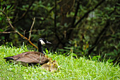 'A canada goose (branta canadensis) and her chicks sitting on the grass in great smoky mountains national park;Tennessee united states of america'