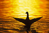 'Mallard with extended wings landing on water at sunset;British columbia canada'