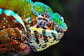 'Male panther chameleon (furcifer pardalis);British columbia canada'