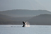 'A humpback whale (megaptera novaeangliae) lays on its back and repeatedly pounds its flukes on the calm surface of the inside passage near juneau's forested coastline favorite channel;Alaska united states of america'