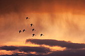 'Trumpeter swans (cygnus buccinator) set their wings as they decend at sunset to marsh lake during spring migration;Yukon canada'