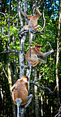 'Proboscis monkeys (nasalis larvatus) in a tree;Borneo'