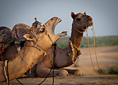 'Two camels sitting on the ground;Jaisalmer india'