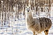 'Single llama in snow covered treed area;Alberta canada'