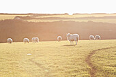 Sheep in a field with the sunlight glowing